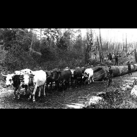 20.Oxen_team_pulling_log